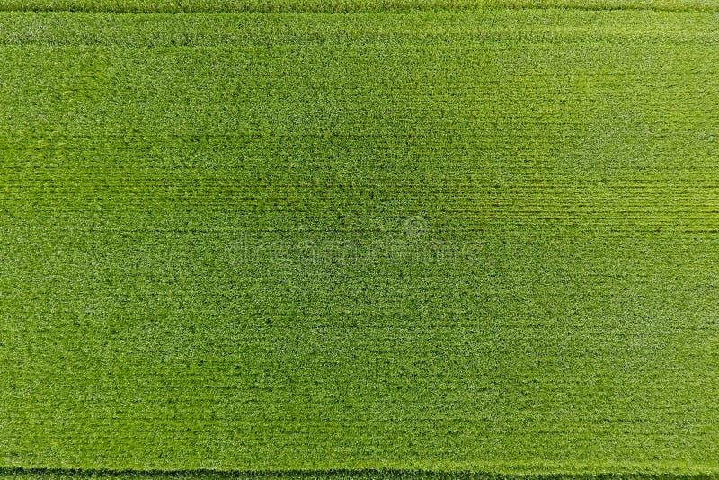 Vetefältet är grönt Ungt vete på fältet Sikt från Ab arkivbilder