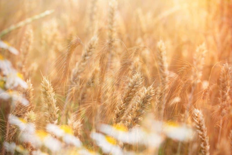 Vetefältet och tusenskönablomman för lös kamomill tände vid solljus royaltyfria foton