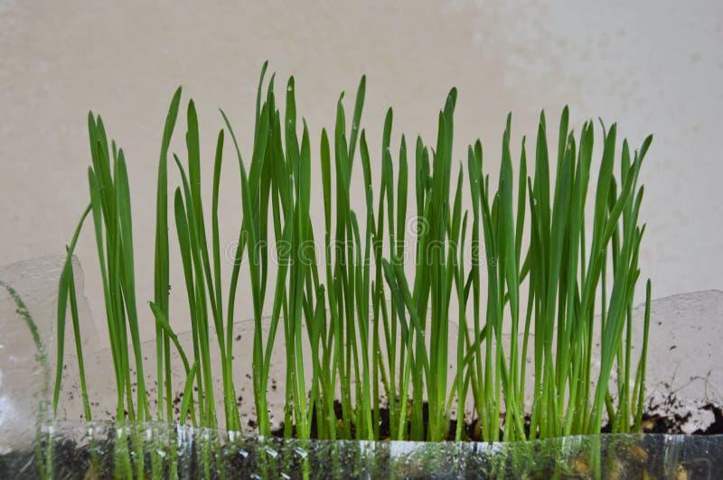 Vetegräs för matande husdjur växer i plast- flaska royaltyfri fotografi