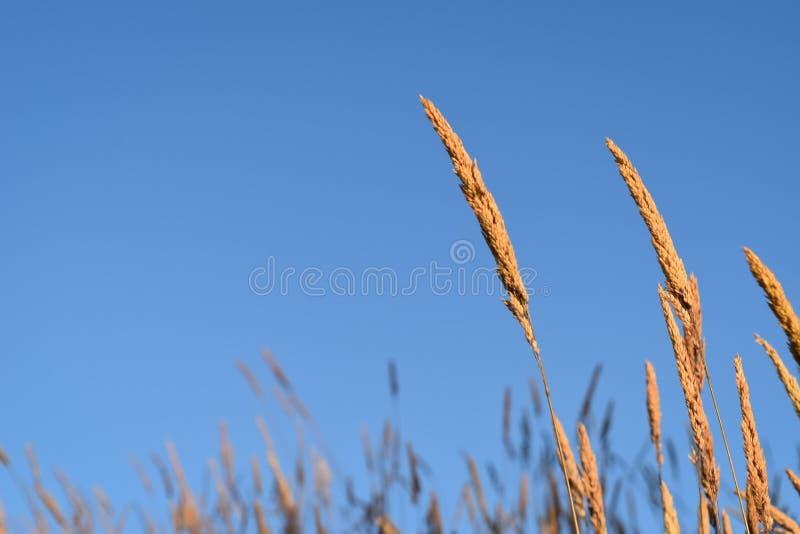 Vetegräs på en blå dag arkivfoto