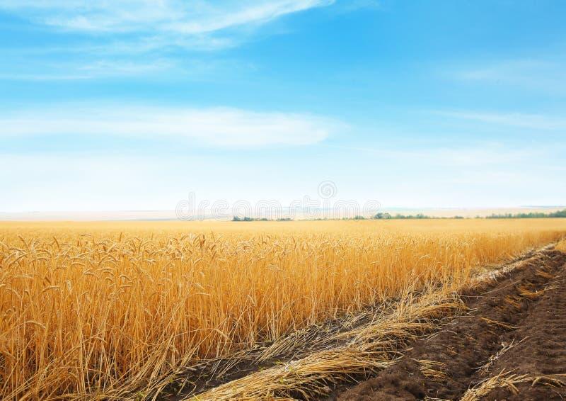 Vetekornfält på solig dag fotografering för bildbyråer