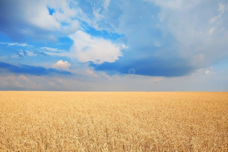 Vetekornfält på solig dag royaltyfri fotografi