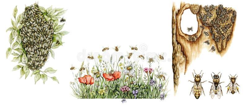 Vetenskaplig illustration av honungbin royaltyfri illustrationer