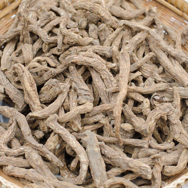 Vetenskaplig känd angelikasinensis Oliv för thailändsk ört arkivbild