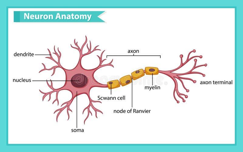 Vetenskaplig medicinsk illustration av anatomi av nervcellen royaltyfri illustrationer