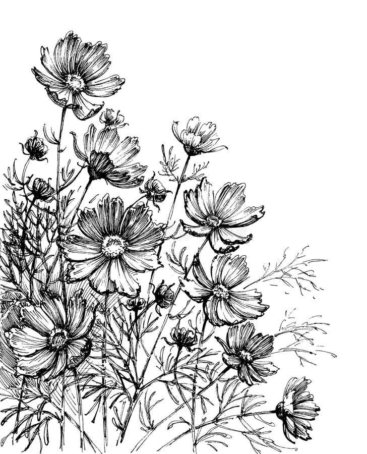 (Vetenskapligt namn: Kosmosbipinnatus) royaltyfri illustrationer