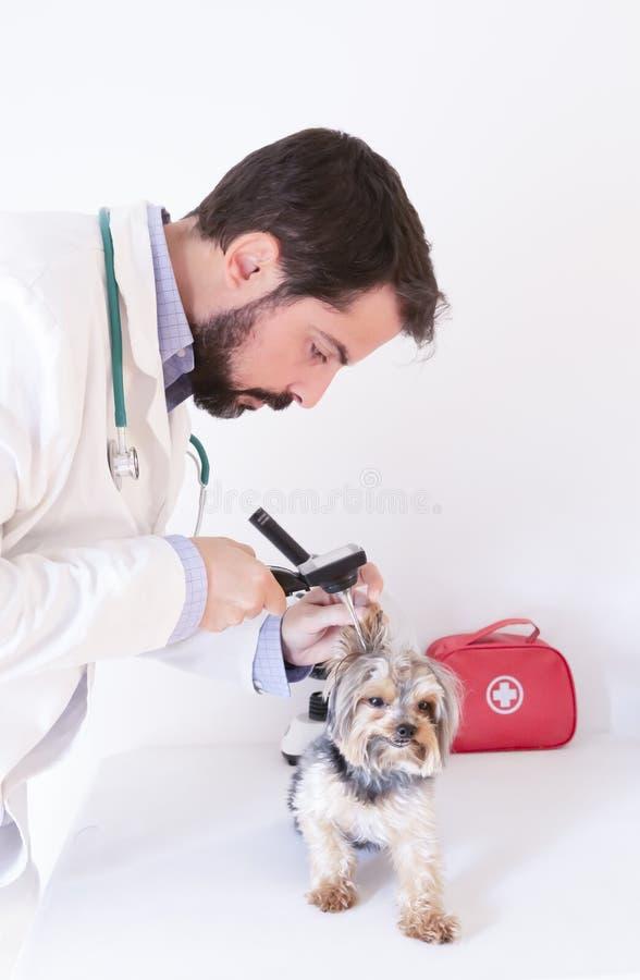 Veterinária, explorando com um toscópio o canal do ouvido de um cão terrier de yorkshire foto de stock