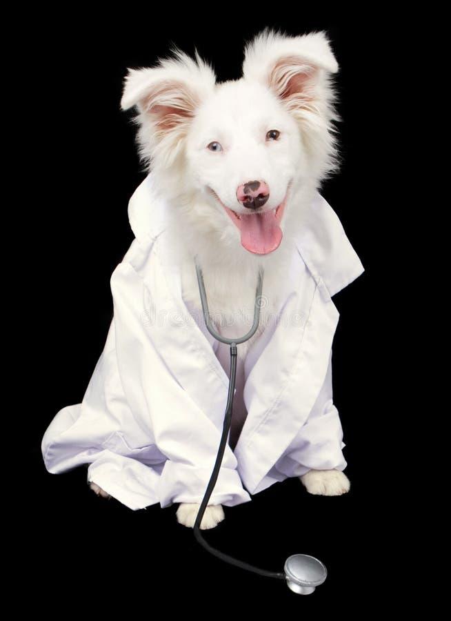 Veterinário australiano branco do cão de pastor foto de stock