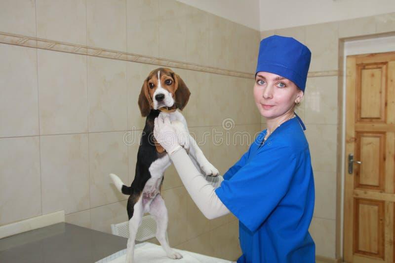 Veterinário da mulher e cão pequeno. fotografia de stock