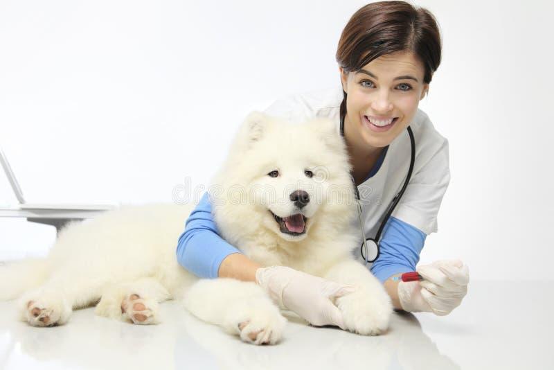 Veterinário de sorriso com o cão na clínica do veterinário, exame do sangue imagem de stock