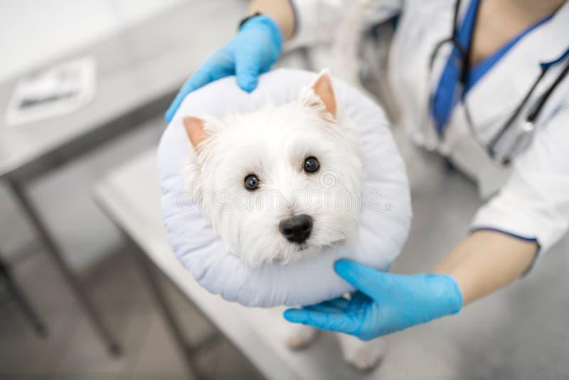Veterinário de visita assustado do sentimento branco pequeno bonito do cão foto de stock royalty free