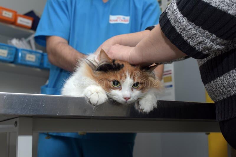 Veterinário do exame do gato imagem de stock royalty free