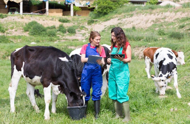Veterinário em uma exploração agrícola imagens de stock royalty free