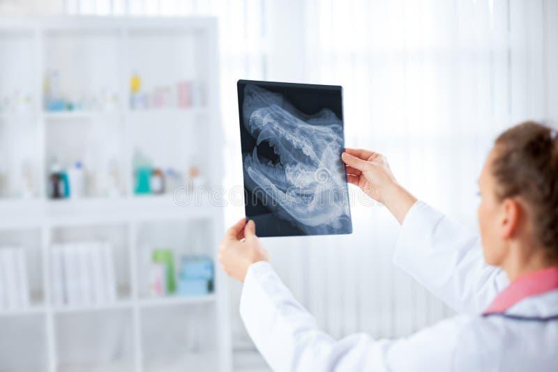 Veterinário fêmea que examina uma radiografia animal imagens de stock