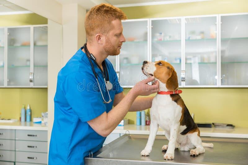 Veterinário que examing o cão bonito do lebreiro fotos de stock royalty free