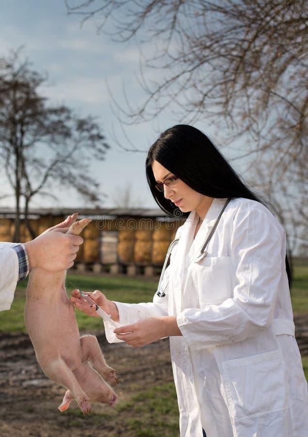 Veterinär- applicerande vaccin till spädgrisen arkivfoto