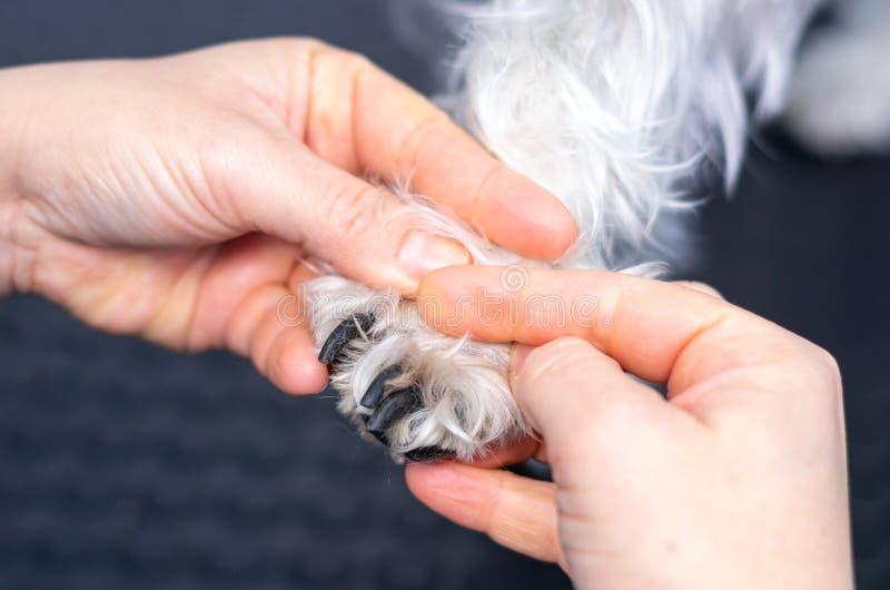 Veterinär, die Nägel eines Zwergschnauzers in einer Klinik schneiden lizenzfreie stockfotos