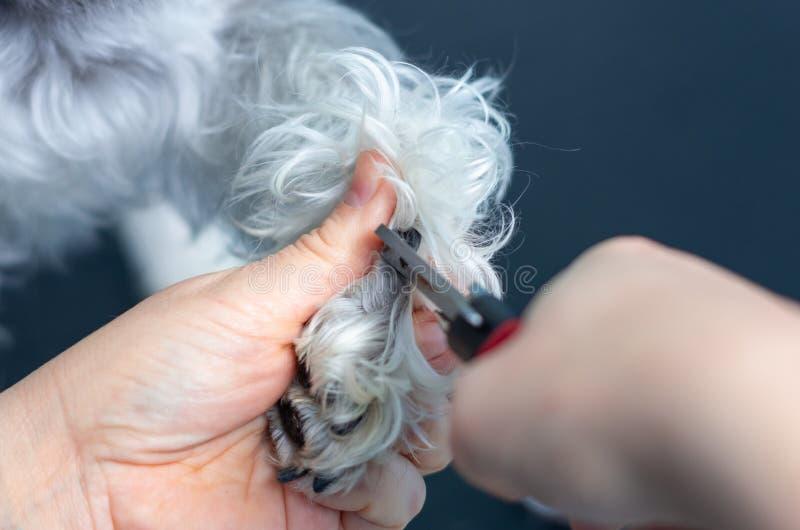 Veterinär, die Nägel eines Zwergschnauzers in einer Klinik schneiden lizenzfreies stockbild