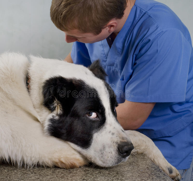 Veterinär- doktor som gör en checkup royaltyfria foton