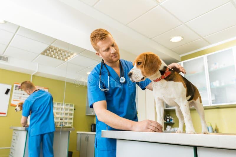 Veterinär- examing gullig beaglehund arkivfoton