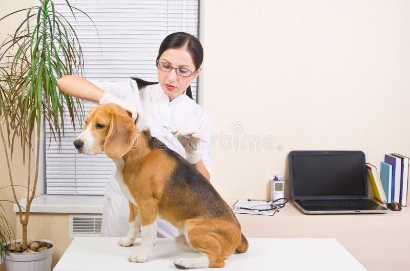 Veterinär- gör en injektion av beagle arkivbilder