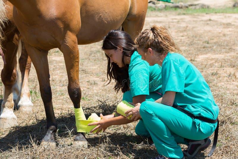 Veterinär- hästar på lantgården fotografering för bildbyråer