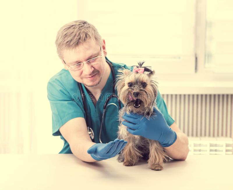 Veterinär- hållande Yorkshire Terrier hund på händer royaltyfria bilder