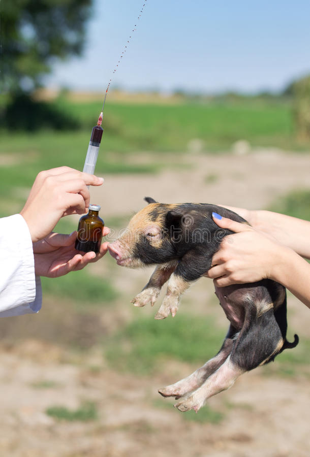 Veterinär- injektion royaltyfri foto