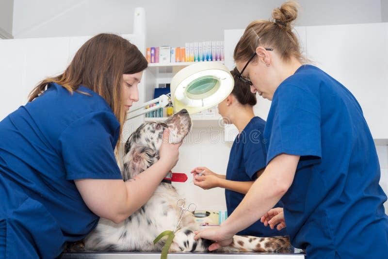 Veterinär- lagställe en intravenös linje i en hund royaltyfri fotografi