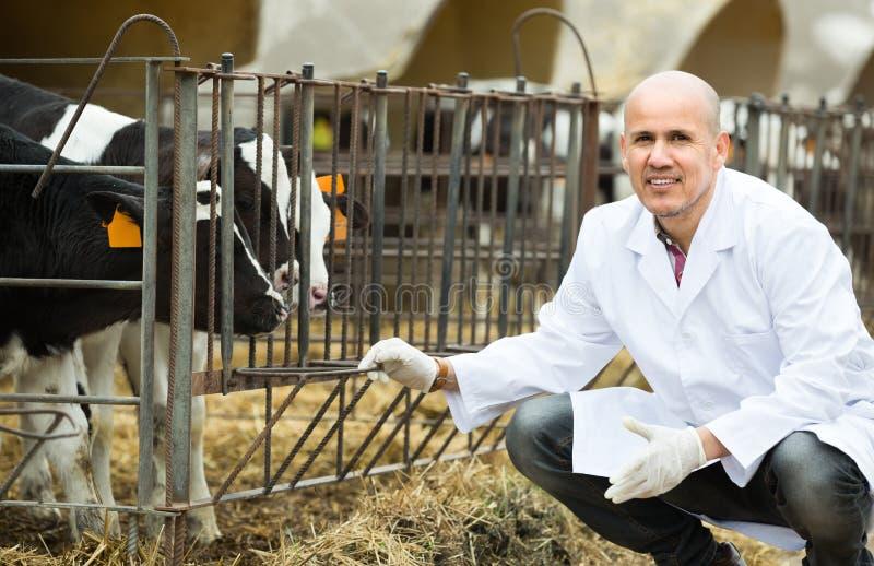 Veterinär med kalvar i boskaplantgård arkivfoto