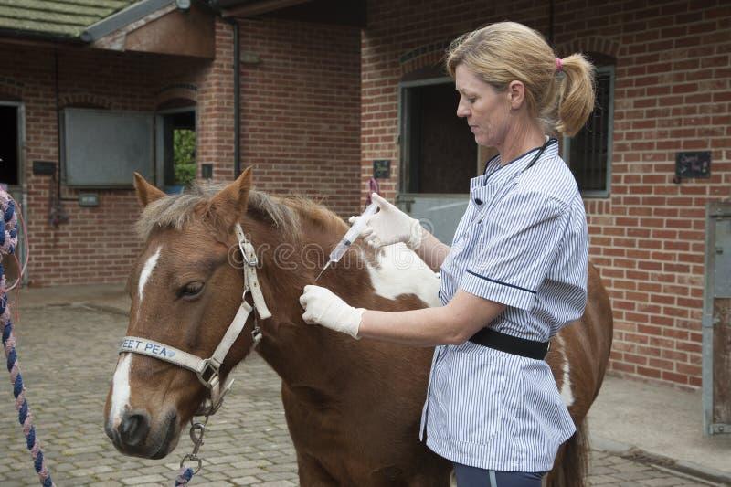 Veterinär- sjuksköterska som behandlar en ponny arkivbild