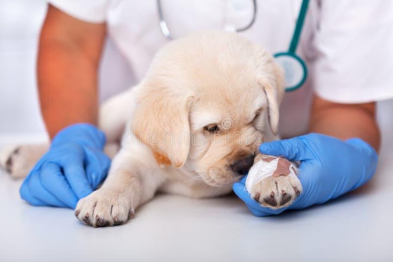 Veterinär- sjukvårdprofessionell som rymmer den unga valpen - liten vovve som sniffar upp häftplåstret, slut royaltyfria foton