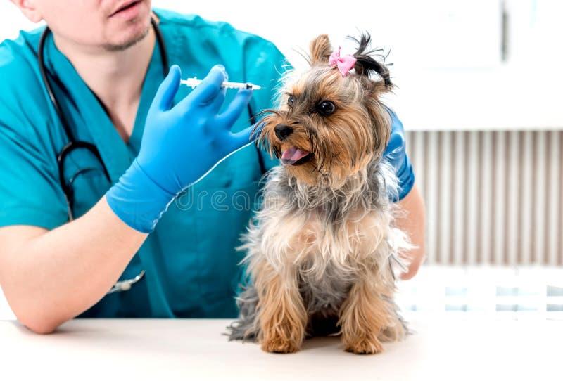 Veterinär som ger en injektion till den Yorkshire Terrier hunden royaltyfria foton