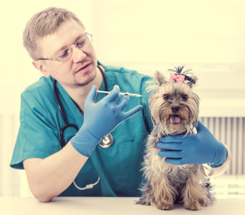 Veterinär som ger en injektion till den Yorkshire Terrier hunden royaltyfri bild