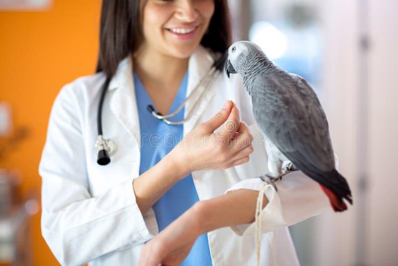 Veterinär som matar papegojan för afrikanska grå färger royaltyfri foto