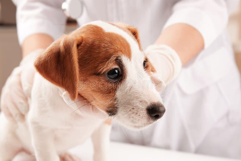 Veterinär som undersöker den gulliga roliga hunden i klinik, arkivfoton