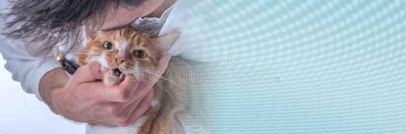 Veterinär som undersöker en katt panorama- baner royaltyfri fotografi