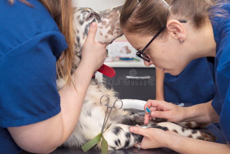 Veterinär- ställe en intravenös linje i en hund royaltyfri foto