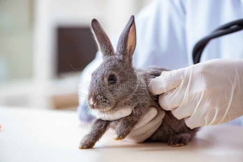 Veterinärdoktorn som kontrollerar upp kanin i hans klinik arkivfoton