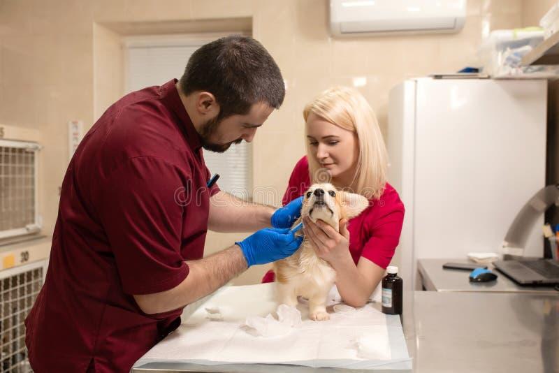 Veterinärdoktorprüfung wenig Corgihund im Manipulationsraum der Haustierklinik Haustier-Gesundheitswesen lizenzfreies stockfoto