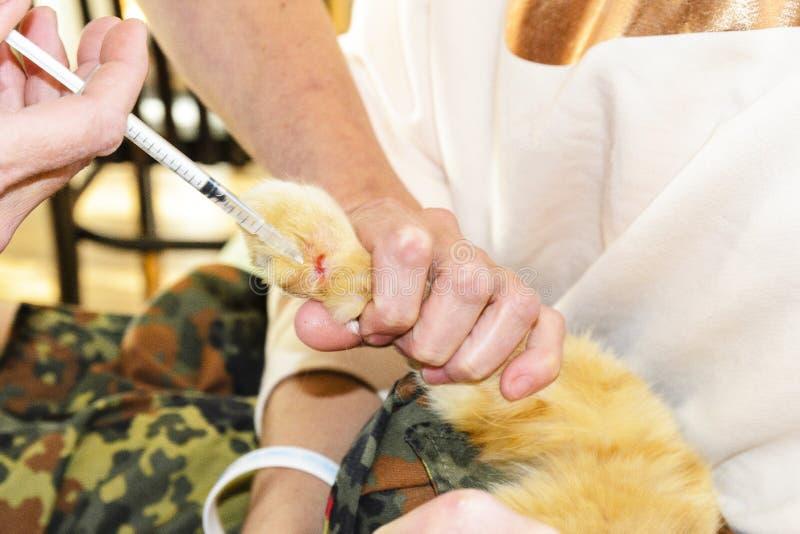 Veterin?ren g?r en injektion till en katt, katten bets av en orm som bitas av en huggorm husdjuret lider Begrepp av f?r?lskelse royaltyfri foto