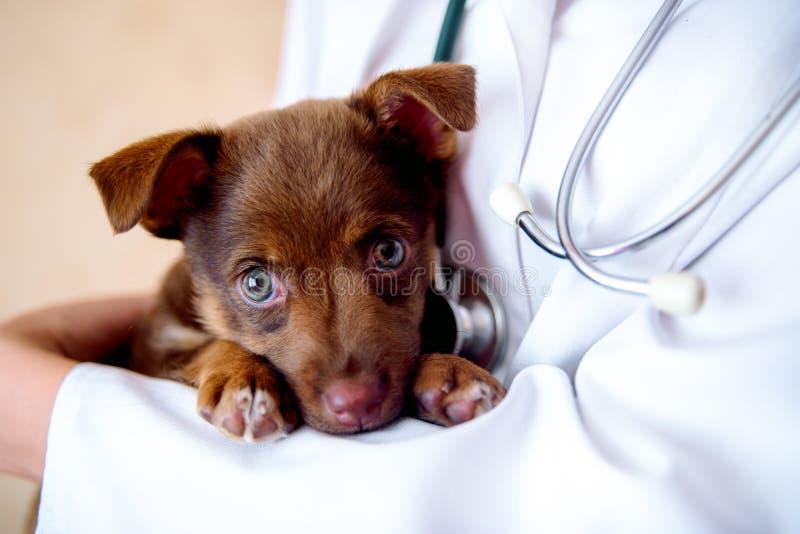 Veterinären undersöker en valp i sjukhuset den lilla hunden fick sjuk valp i händerna av en veterandoktor arkivfoto