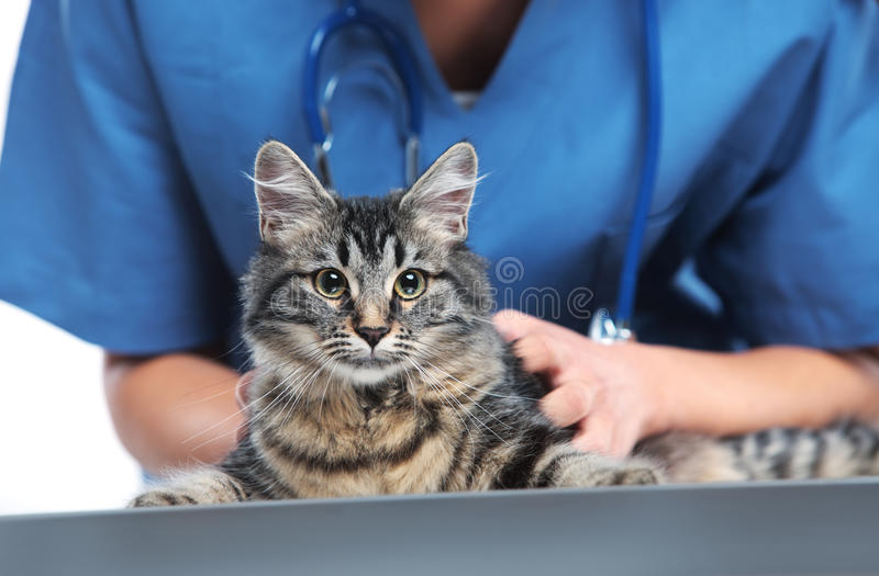 Veterinärinteressieren einer netten Katze lizenzfreie stockfotos