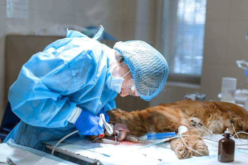 Veterin?r- tandl?kekonst Tandl?karekirurgveterin?ren g?r ren och behandlar en hunds t?nder under anestesi p? operationsbordet i a arkivfoton