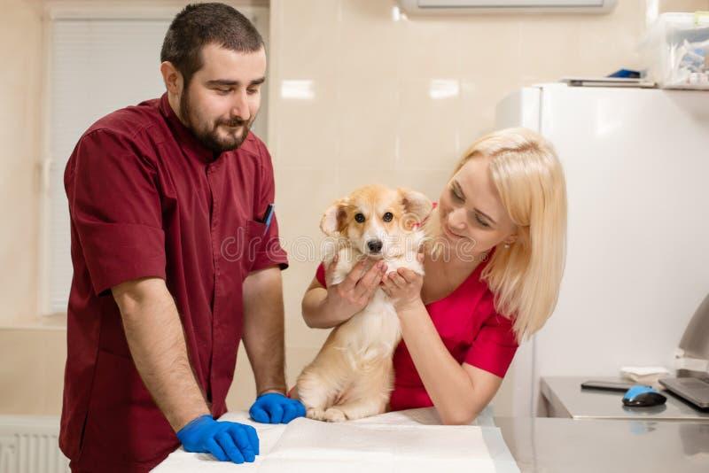 Veterin?rdoktorpr?fung wenig Corgihund im Manipulationsraum der Haustierklinik Haustier-Gesundheitswesen lizenzfreie stockfotos