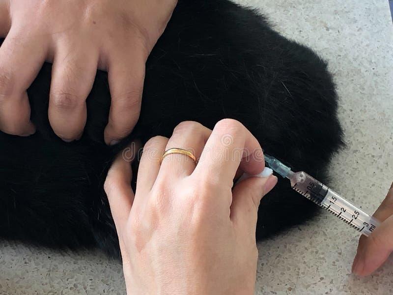 Veterin?ren g?r en injektion en thail?ndsk katt arkivbild
