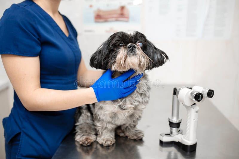 Veterin?rio, o oftalmologista prepara o c?o da com olho ferido para examinar com uma l?mpada cortada em uma cl?nica veterin?ria imagens de stock
