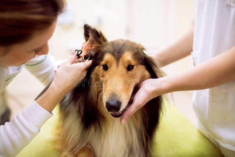 Veterinair examenoor met oorspiegel aan hond bij huisdierenkliniek stock foto