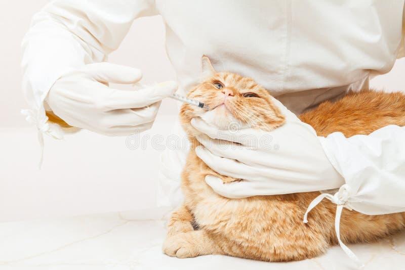 Veterinair gevend het vaccin aan de ivoor rode kat stock foto