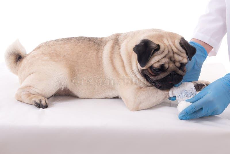 Veterinair het zetten verband op poot van hond royalty-vrije stock afbeeldingen